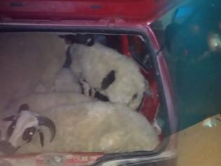 Φωτογραφία για XANIA: Πήγαν αμαξάδα με τα κλεμμένα αρνιά- Στα χέρια της αστυνομίας δύο άτομα