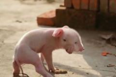 Γουρουνάκι γεννήθηκε με 2 μύτες, 2 στόματα και 3 μάτια