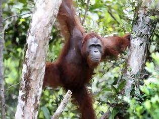 Φωτογραφία για Στο χείλος της εξαφάνισης ακροβατεί ο ουραγκοτάγκος της Βόρνεο