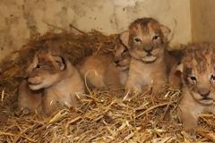 Σουηδία: Θανάτωσαν 9 υγιέστατα λιονταράκια γιατί θα... μεγάλωναν πολύ!