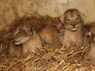 Φωτογραφία για Σουηδία: Θανάτωσαν 9 υγιέστατα λιονταράκια γιατί θα... μεγάλωναν πολύ!