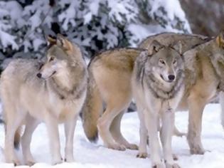 Φωτογραφία για Επέλαση των λύκων στην Ευρώπη 100 χρόνια μετά την εξαφάνισή τους