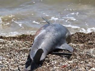 Φωτογραφία για Εντοπίστηκε νεκρό δελφίνι στην Κεφαλονιά