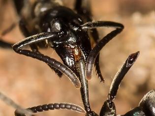 Φωτογραφία για Μυρμήγκια - «νοσοκόμοι» περιποιούνται τους τραυματίες στο πεδίο μάχης