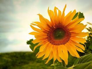 Φωτογραφία για H αγάπη της Λευκοθόης για τον Ήλιο εξηγεί γιατί το ηλιοτρόπιο όταν βρεθεί κοντά σε δέντρα που παράγουν λιβάνι τα μαραίνει