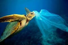 Ταϊλάνδη: Θύμα των πλαστικών προστατευόμενο είδος θαλάσσιας χελώνας
