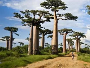 Φωτογραφία για Πεθαίνουν μυστηριωδώς τα αρχαιότερα δέντρα της Αφρικής