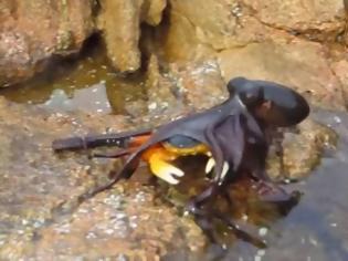 Φωτογραφία για Απίστευτη επίθεση από χταπόδι σε...καβούρι! Δείτε τι συμβαίνει... [video]