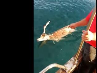 Φωτογραφία για Ψαράς έσωσε ελάφι που βρέθηκε στη θάλασσα!