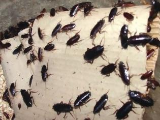 Φωτογραφία για Απλοί τρόποι για να απαλλαγείτε εύκολα από τις ενοχλητικές κατσαρίδες!