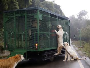 Φωτογραφία για Εκεί που τα ζώα κυκλοφορούν ελεύθερα και οι επισκέπτες μπαίνουν σε κλουβιά