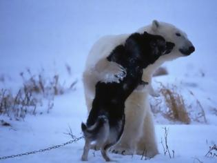 Φωτογραφία για Κι όμως η πολική αρκούδα και το χάσκι είναι οι καλύτεροι φίλοι μέσα στο κρύο... [photos]