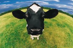 Το ήξερες; Που κοιτάνε οι αγελάδες την ώρα που βόσκουν;