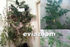 Ιστιαία: Νέα σύλληψη για καλλιέργεια δενδρυλλίων χασίς (ΦΩΤΟ)