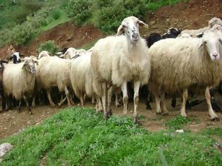 Φωτογραφία για Επίκαιρη Ερώτηση κατέθεσε ο βουλευτής του ΚΚΕ Νίκος Μωραΐτης, για τα προβλήματα που αντιμετωπίζουν οι κτηνοτρόφοι από τη συνεχή πτώση της τιμής του αιγοπρόβειου γάλακτος