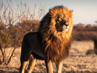 Φωτογραφία για Ασθένεια σκότωσε μέσα 21 ασιατικά λιοντάρια