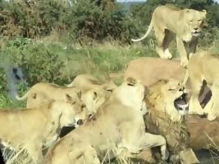 Φωτογραφία για Αγέλη αγριεμένων λέαινων κατακρεουργούν τον έκπτωτο αρχηγό τους