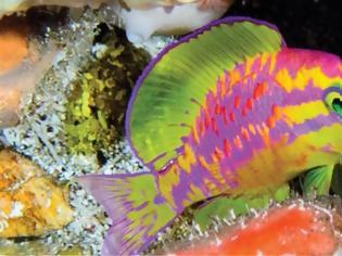 Φωτογραφία για Οι επιστήμονες ανακάλυψαν ένα νέο πολύχρωμο ψάρι