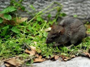 Φωτογραφία για Ηπατίτιδα Ε: Παγκόσμιος συναγερμός σήμανε μετά τη μόλυνση ενός άνδρα από ποντίκια