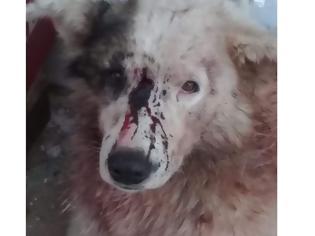 Φωτογραφία για ΦΡΙΚΗ: Σκύλος βρέθηκε τραυματισμένος και χτυπημένος στο κεφάλι στην ΚΟΜΠΩΤΗ Ξηρομέρου   Έκκληση της Φιλοζωικής Οργάνωσης Αγρινίου για μαρτυρίες κατοίκων του χωριού!