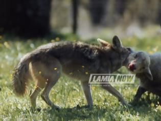 Φωτογραφία για Κτηνοτρόφος ήρθε τετ-α-τετ με τον λύκο που κατασπάραξε τα πρόβατα του