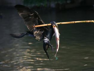 Φωτογραφία για Ψάρεμα με πουλιά; Η παράξενη ιαπωνική μέθοδος ψαρέματος που χρησιμοποιείται εδώ και 1.300 χρόνια!