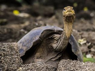 Φωτογραφία για «Μοναχικός Τζορτζ»: Η γιγάντια αιωνόβια χελώνα προσφέρει στην επιστήμη ακόμα και μετά θάνατον