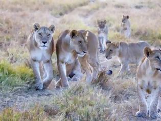 Φωτογραφία για Η απίθανη στιγμή που 10 λιοντάρια στήνονται σε μία... τρομακτική πόζα