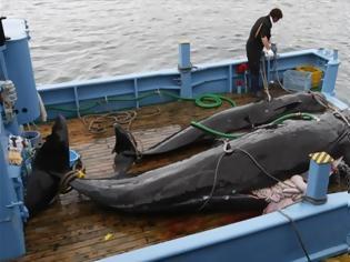Φωτογραφία για Το Τόκιο αποφάσισε να συνεχίσει την εμπορική φαλαινοθηρία