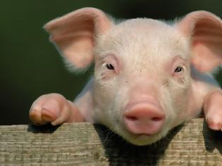 Φωτογραφία για Όλα τα γουρούνια στη βιτρίνα