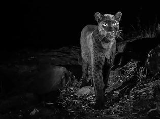 Φωτογραφία για Φωτογράφος απαθανάτισε για πρώτη φορά μετά από 100 χρόνια μαύρη λεοπάρδαλη στην Αφρική