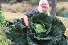 Λάχανο... extra large - Έχει το μέγεθος ενός ανθρώπου