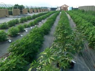 Φωτογραφία για Σαουδάραβες έρχονται στον Έβρο για να καλλιεργήσουν φαρμακευτική κάνναβη