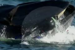Φάλαινα παραλίγο να καταπιεί δύτη που βρέθηκε στο διάβα της