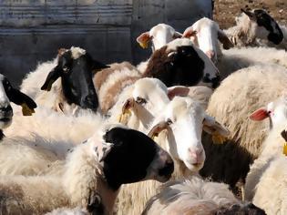 Φωτογραφία για Δεν θα χάνουν επιδοτήσεις οι κτηνοτρόφοι λόγω περιπτώσεων «ανωτέρας βίας»
