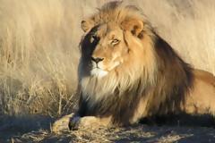 Λαθροθήρας κατασπαράχθηκε από αγέλη λιονταριών ενώ λίγο πριν είχε σκοτώσει τρεις οικογένειες μπαμπουίνων