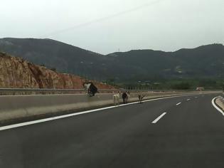 Φωτογραφία για Χθες δόθηκε στη κυκλοφορία το τμήμα ΑΚΤΙΟ – ΒΟΝΙΤΣΑ και όμως σήμερα οι ΚΑΤΣΙΚΕΣ βόσκουν αμέριμνες στον... αυτοκινητόδρομο (ΦΩΤΟ)