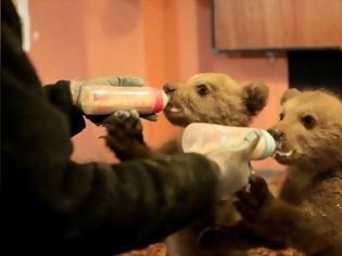 Φωτογραφία για Νυμφαίο: Δύο αρκουδάκια χωρίς μητέρα προετοιμάζονται για την άγρια ζωή