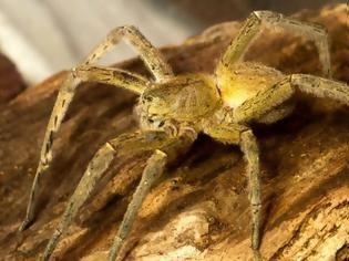 Φωτογραφία για Αράχνη σε τσιμπάει και το δηλητήριο της προκαλεί 4ωρη στuση