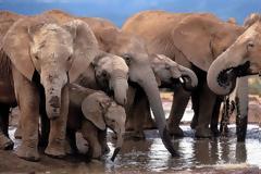 Η Ζιμπάμπουε έχει πρόβλημα υπερπληθυσμού στους ελέφαντες και προχωρά σε πωλήσεις