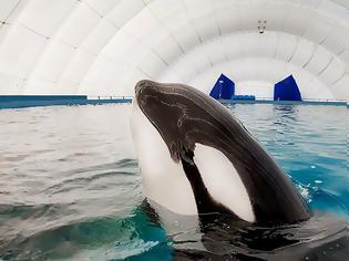 Φωτογραφία για Ρωσία: Απελευθερώνει 10 φάλαινες- δολοφόνους, αλλά δεν τις αφήνει να επιστρέψουν στο «σπίτι» τους