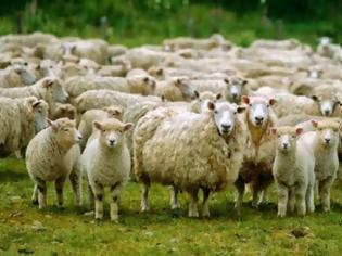 Φωτογραφία για Πρόβατα έφαγαν κάνναβη και επιτέθηκαν σε χωριό!