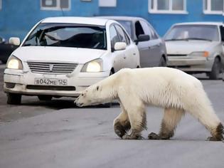 Φωτογραφία για Εξουθενωμένη και πεινασμένη πολική αρκούδα περιπλανιέται σε πόλη της Σιβηρίας και ψάχνει φαγητό (βίντεο)
