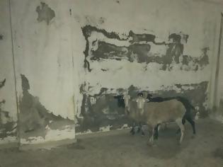 Φωτογραφία για Κολαστήριο για πρόβατα σε εγκαταλελειμμένο κτίριο στη Χερσόνησο