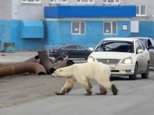 Φωτογραφία για Βρέθηκε η εξουθενωμένη πολική αρκούδα που περιπλανιόταν σε πόλη της Σιβηρίας