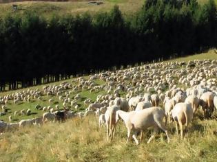 Φωτογραφία για Κτηνοτρόφοι: Καθορίστηκε το ύψος της συνδεδεμένης ενίσχυσης για τα ειδικά δικαιώματα