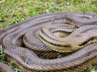 Φωτογραφία για Ποιο  είναι το μεγαλύτερο φίδι στην Ελλάδα;