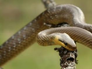 Φωτογραφία για Τα φίδια της Ελλάδας – Οι αλήθειες και οι μύθοι (εικόνες)
