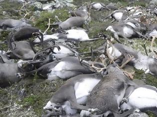 Φωτογραφία για Αρκτική: Βρέθηκαν 200 νεκροί τάρανδοι λόγω της πείνας του χειμώνα