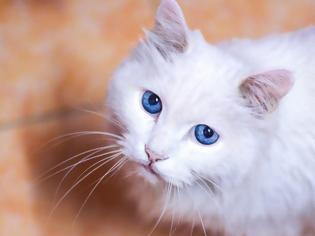 Φωτογραφία για Μύθος ή αλήθεια ότι οι λευκές γάτες με μπλε μάτια δεν ακούν;